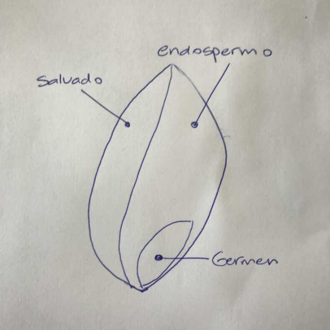anatomia-de-un-grano-de-trigo